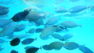 Many small fishes in a blue water. video