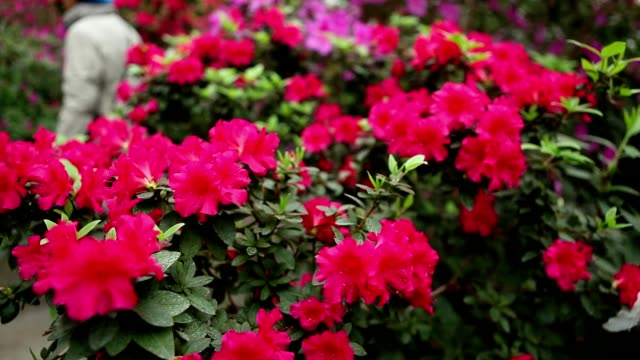 Many Small Red Flowers on Bushes Azaleas on Which a Woman Moves video