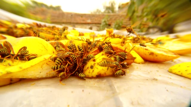 Many Wasps Pounce on Chopped Pears and Eat on Background Wasps Fly Macro video