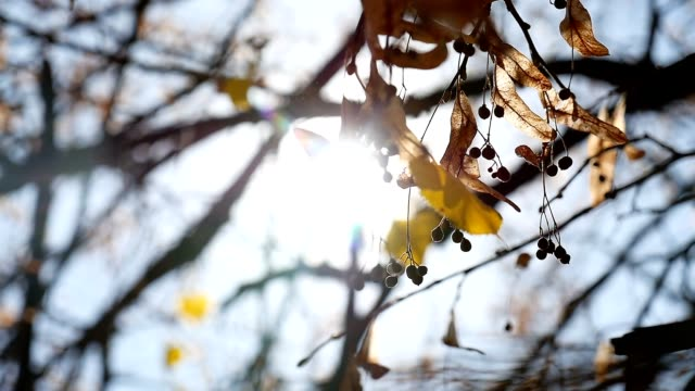 Maple autumn helicopter branches tree swaying nature video