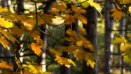 Maple branches swaying in the autumn wind video