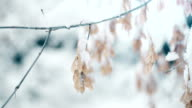 maple branches under snowing video