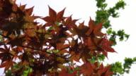 Maple foliage video