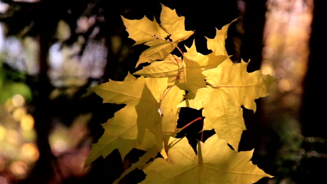 Maple leaf gently swaying to the breeze video