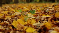 Maple leaf in autumn foliage. Slowly, dolly shot. video