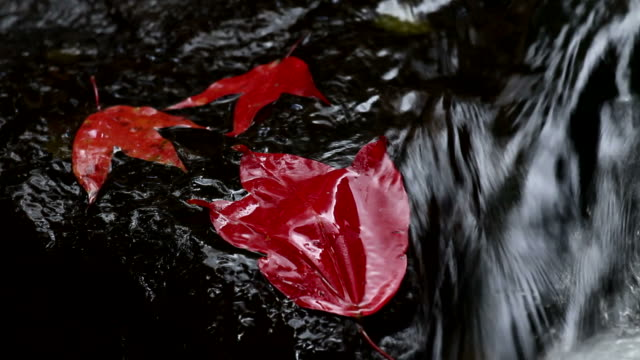 Maple leaf in the stream video