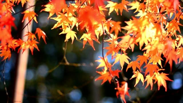 maple leaf on sunlight video