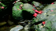 Maple Leaf on the rock. video
