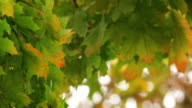 Maple leafs Autumn video
