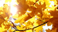 Maple leaves and sun video