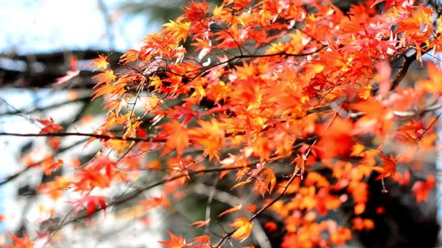 maple leaves and tree in autumn video