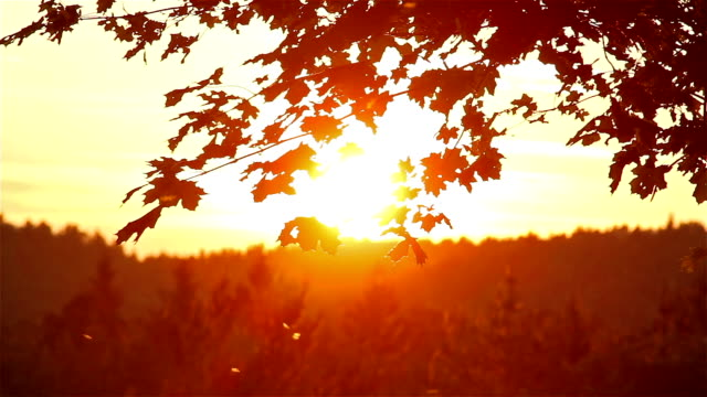 maple leaves at sunset background video