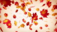 Maple leaves falls down. Loop. video