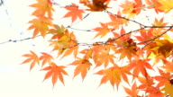 Maple leaves in Autumn isolated on white copy space for text edit video