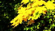 Maple leaves in autumn video