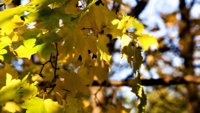 Maple leaves video