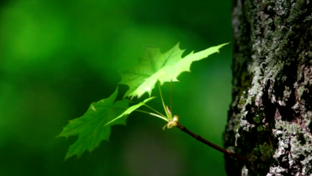 Maple sprout with new green leaves on tree trunk. video