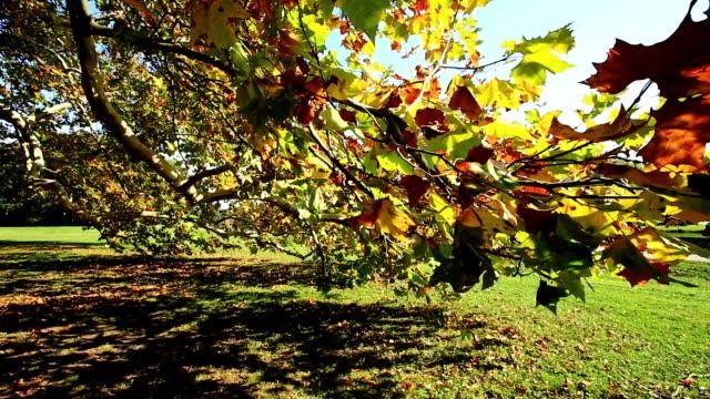 Maple tree in autumn video