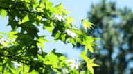 Maple Tree in the Breeze video