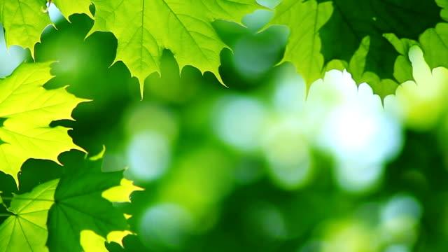 maple tree leaves video