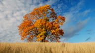 Maple tree showing the colors of autumn video
