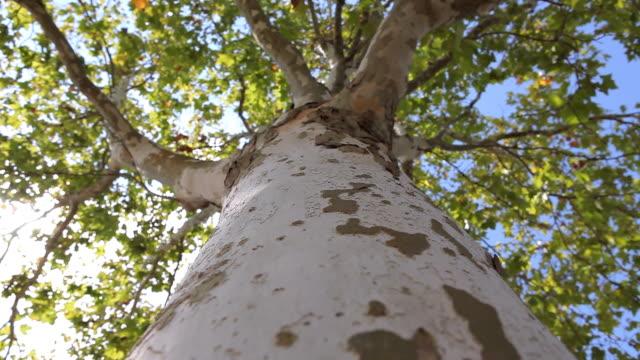 Maple Tree video
