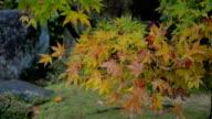 Maple tree with rain drop in autumn video