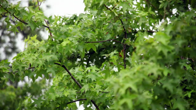Maple Trees in the Rain video