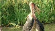 Marabou Birds video
