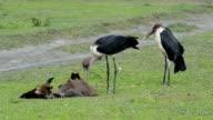 Marabou Stork Eating Dead Wildebeest video