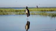 Marabou Stork video