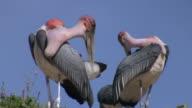 marabou storks_Marabu_putzen1 video