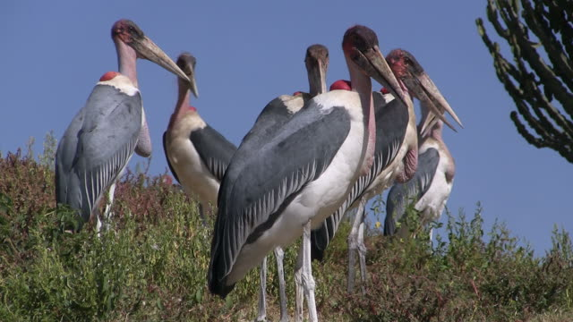 Marabu storks- Gruppe video