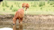 mare and foal on river video