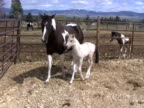 Mare with Foal video