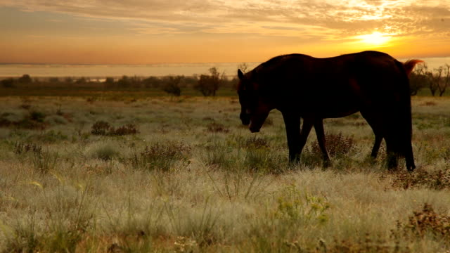 Mare with young Foal graze grass in evening sun rays video