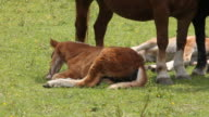 Mares and foals at pasture video