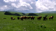 Mares with Foals Grazing video