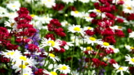 Marguerite on summer meadow video