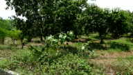 Marian Plum tree in orchard in rural thailand video