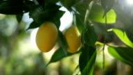 Marian plum video