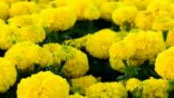marigold blooming in garden video