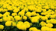 marigold flower field close up and dolly shot video