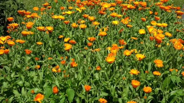 marigold flower in garden and wicker plate with blossom. FullHD video