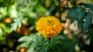 Marigold flowers video