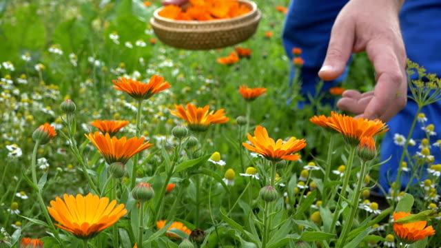 Marigold herb blooms and gardener hands pick in wicker dish. video