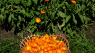 Marigold herb blooms in wicker dish and calendula herbal flower plants. FullHD video