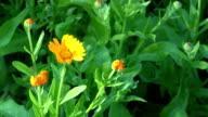 Marigold (Calendula officinalis). Herbal flower blooms video