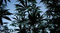 Marijuana field video