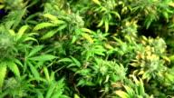 Marijuana Plant Full Tour - Tilt Up Movement video